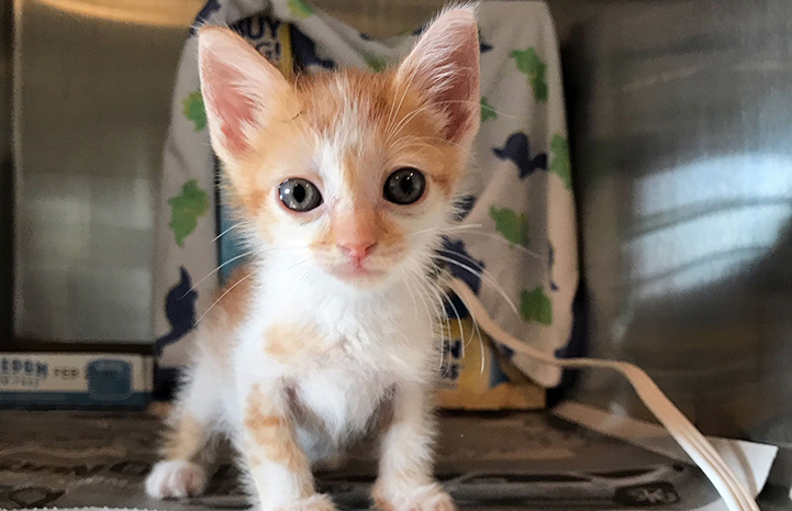 Cream and white kitten in a kennel from the Central Oklahoma Humane Society