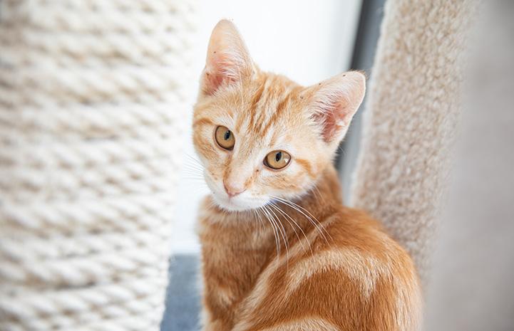 Orange marbled tabby kitten