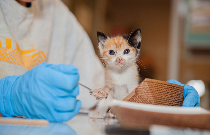 Small calico kitten being fed by a person wearing blue gloves