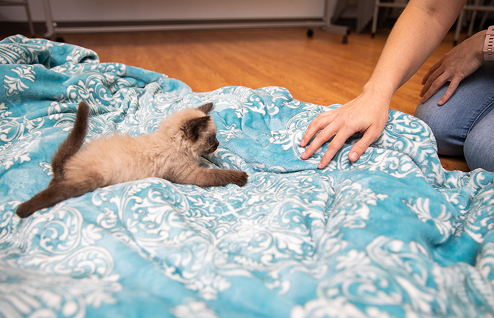 Person's hand on a blanket by a Siamese kitten