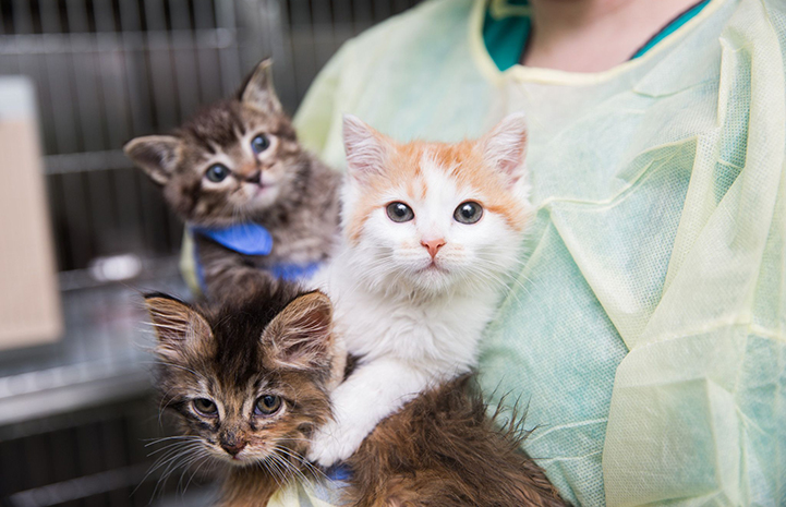 Litter of three kittens being held by a person wearing a protective gown