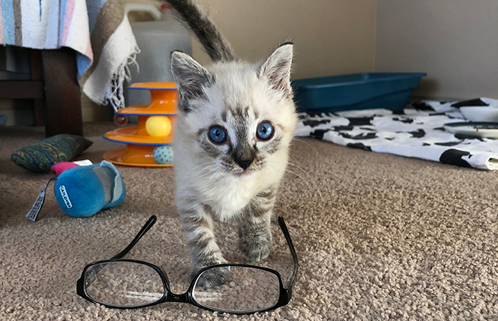 Vern the kitten behind a pair of eyeglasses
