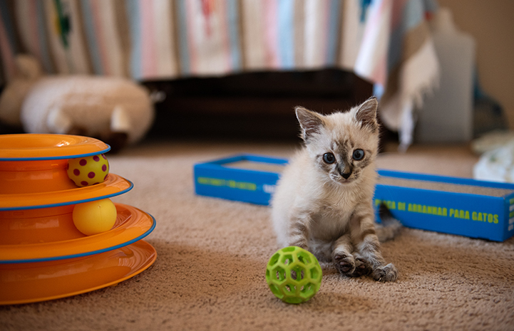 Vern the kitten surrounded by cat toys and a scratcher