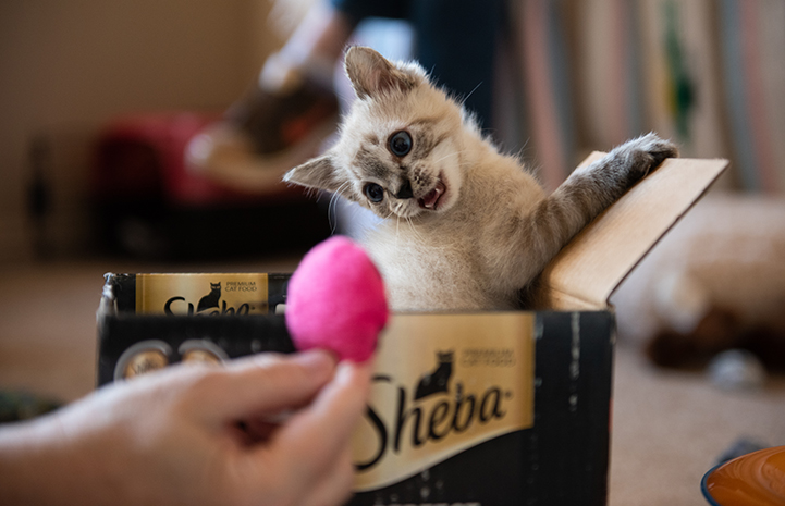 Vern the kitten in a Sheba box going after a pink toy being held by a person