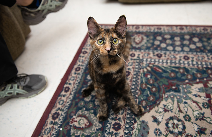 Vanetta the tortoiseshell kitten sitting on a fancy carpet