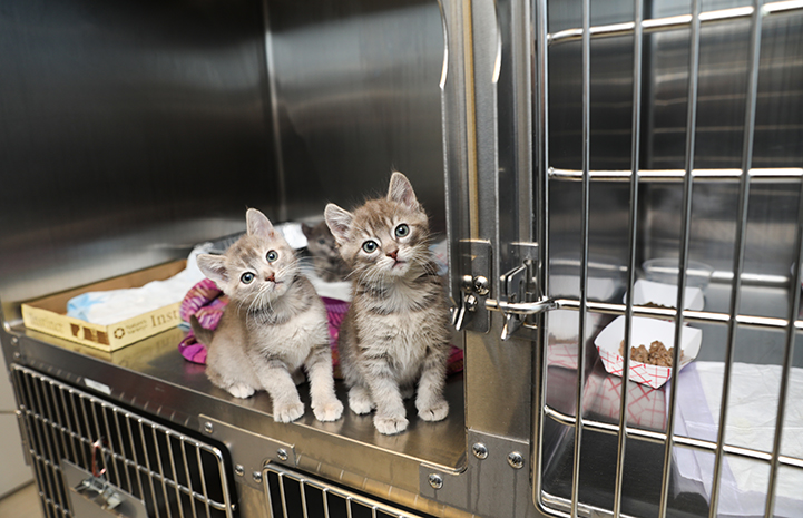 A pair of tabby kittens in a stainless steel kennel