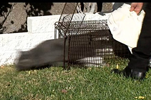 Gray community cat rushing out of humane trap