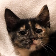 Adopt Lauretta the cat available for adoption from Houston
