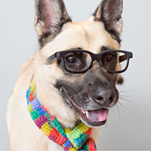 German Shepherd type dog wearing sunglasses