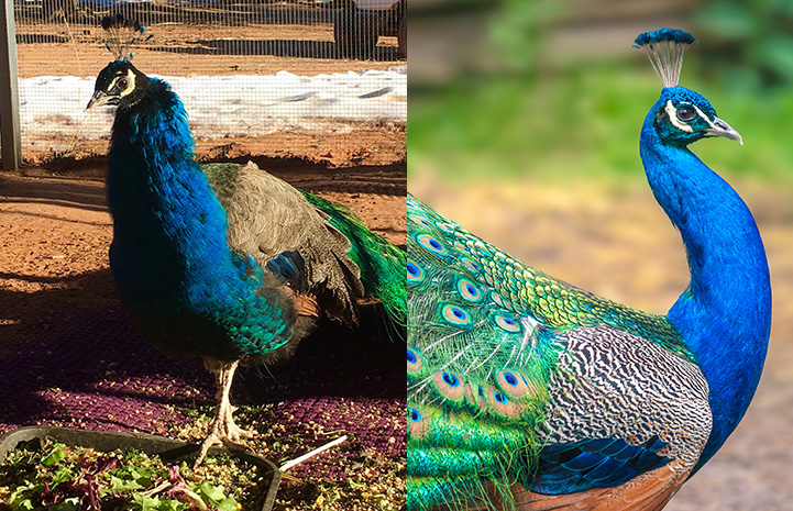 Collage of Aretha the peacock next to a male peacock