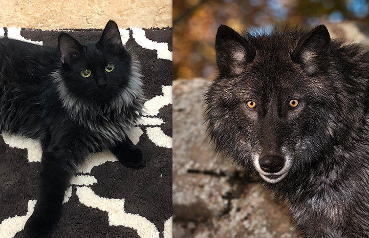 Collage of Curly Sue the cat next to a wolf
