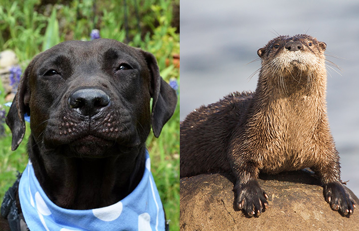 Dakota the dog next to an otter