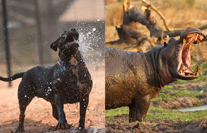 Collage of photo of Lordes the dog next to a hippo