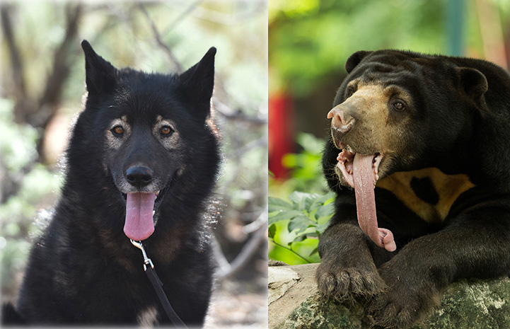 Collage of Sasha the dog next to a sunbear, both with tongues out