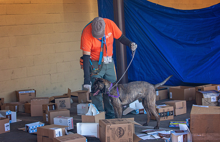 Man doing scent training with a dog with a bunch of overturned cardboard boxes