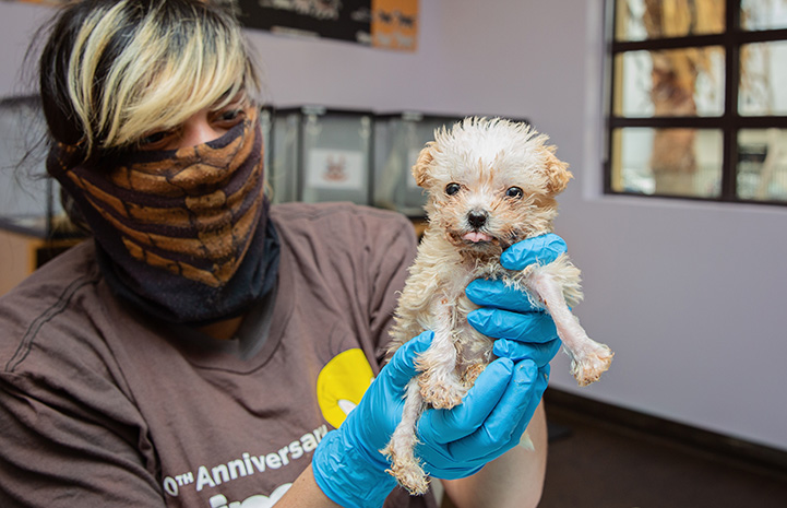 Woman wearing a mask holding a fluffy white puppy with gloved hands