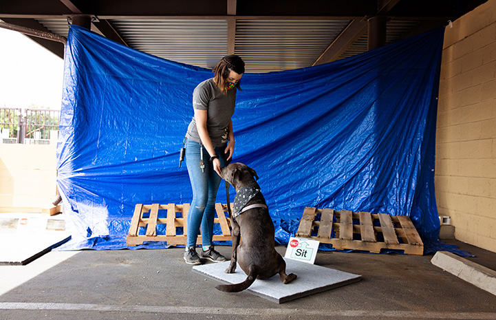 Woman giving directions to a dog sitting on a Sit platform with a blue tarp background held by wooden pallets