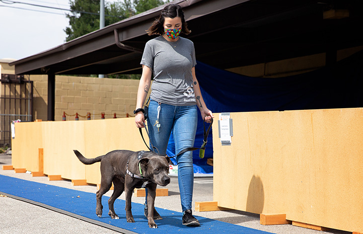 Woman wearing a mask and walking Welby the dog on a blue walkway