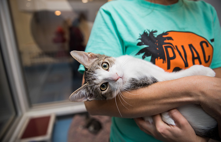 Gray and white cat being held in the arms of someone wearing a Palm Valley Animal Center T-shirt