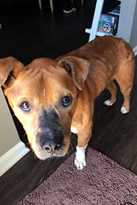 Seymour, a brown and white pit bull terrier type dog, standing in a home and looking up at the camera