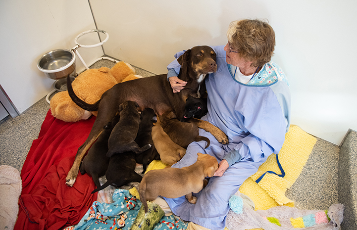 Mama dog Marsi lying against a woman while her puppies nurse