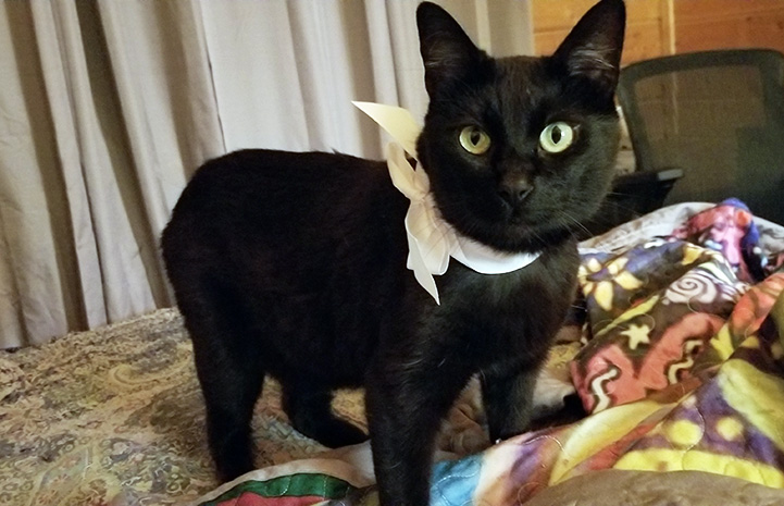 Ellery the cat with Manx syndrome wearing a bow around her neck