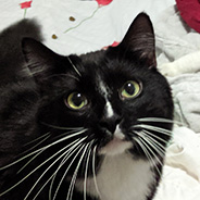 Adopt Marcus the cat available for adoption from New York