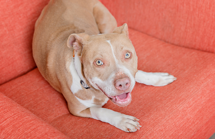 Tan and white pit-bull-terrier-type dog who is heartworm negative lying down on an orange chair