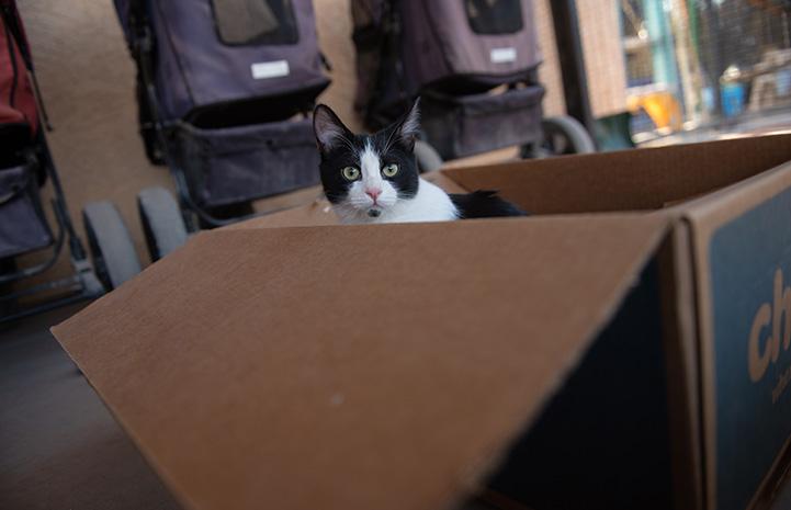 Raisin the kitten playing in a cardboard box