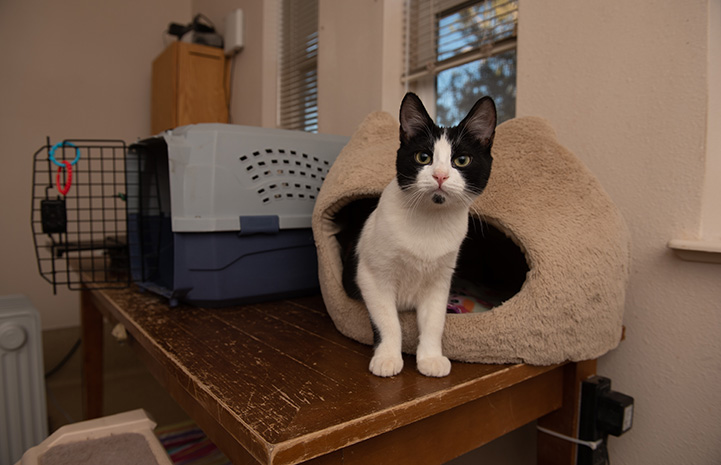 Raisin the kitten coming out of a cat bed on a table