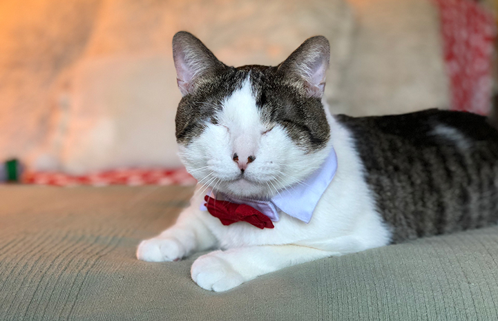 Melvin the blind cat wearing a red bow tie