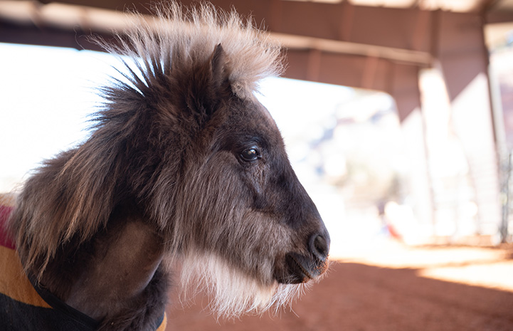 A profile of Daisy the mini horse's face