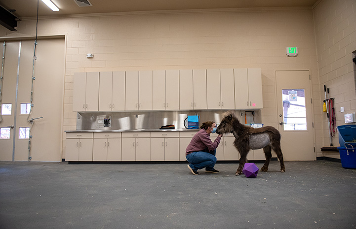 Daisy the mini horse getting treatment