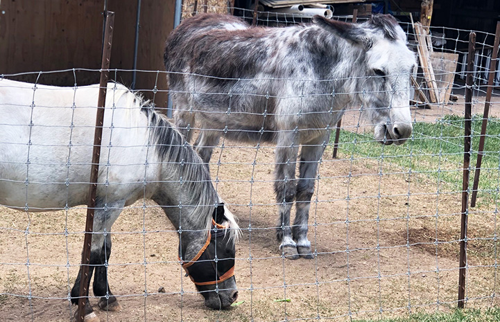Fury the miniature horse with Maisy the donkey, whose ears are back
