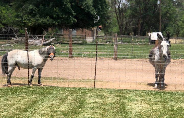 Mini horse Fury and Maisy the donkey