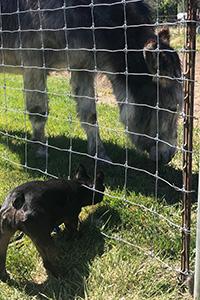 French bulldog outside the fence of Maisy the donkey