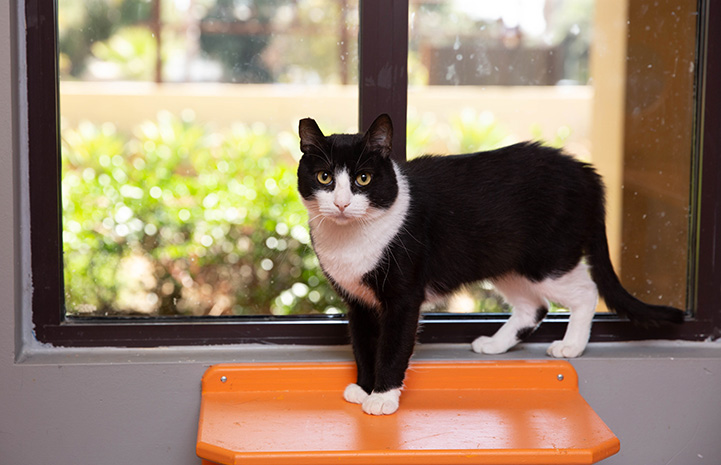 Shortie the black and white cat standing on an orange shelf in front of a window