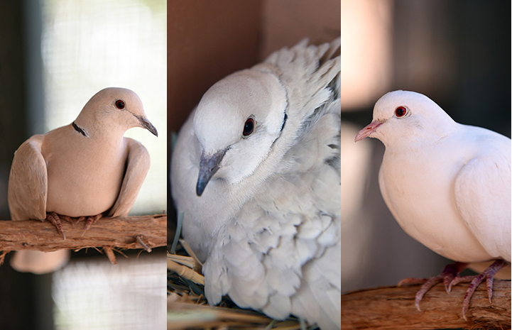 A collage of three photos of Debbie, Nevaeh, Monica the doves