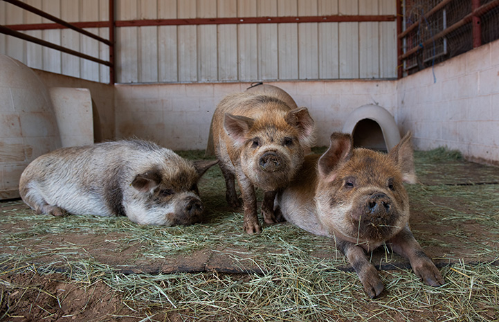 Karen, Colin, Corwin the pigs lying next to each other on some stray in a pen