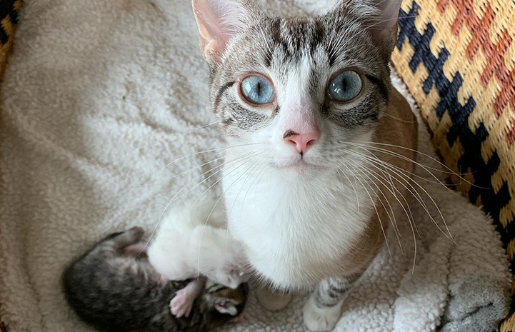 Moana the cat looking directly at the camera with her kittens below her