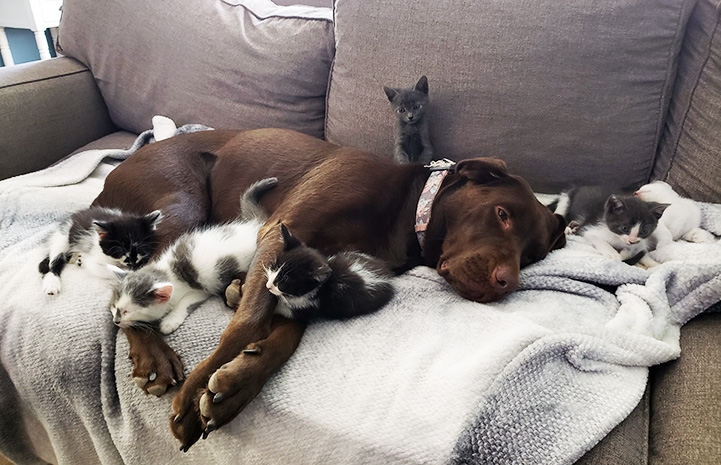 Penny the chocolate Labrador retriever lying on a couch surrounded by a litter of kittens