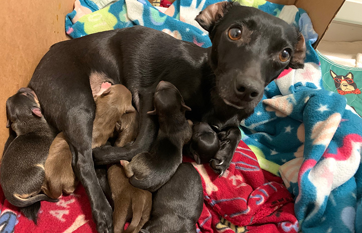 Linda the dog lying down on some blankets nursing her puppies