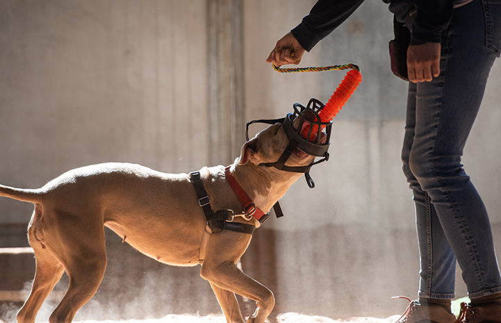 Person grabbing a tug toy that Charm the muzzled dog is holding in her mouth