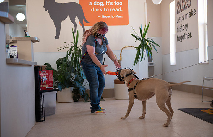 Person reaching out to the dog Charm, who is wearing a muzzle and holding a toy in her mouth