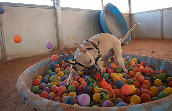 Charm the dog wearing a muzzle and playing with a toy in a ball pit in a small kid's pool