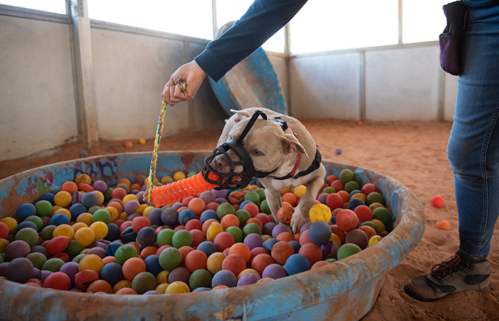 Person the rope part of a toy held in Charm the dog's mouth, while playing in a ball pit