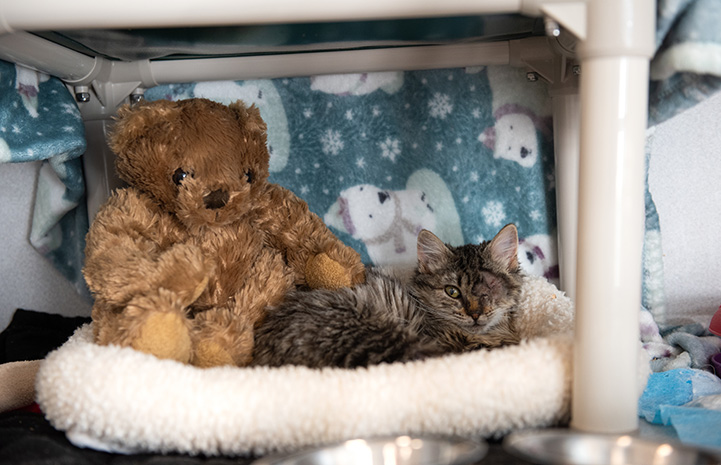 Peyton the brown tabby kitten lying in a bed next to a stuffed teddy bear