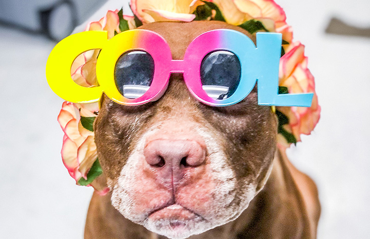"""Gertrude the brown and white dog wearing rainbow colored glasses that spell out the word """"COOL"""""""