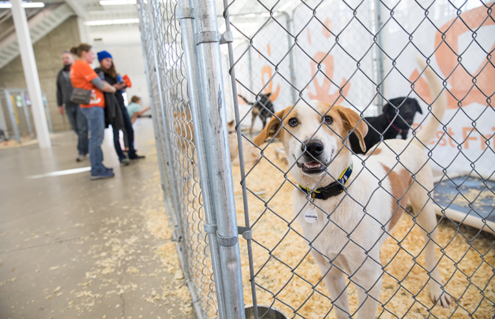 White and tan dog in a kennel at the NKUT Super Adoption event
