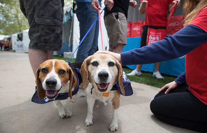 Two beagles, Luke and Leia, on leashes and getting adopted at the May the 4th NKUT Super Adoption
